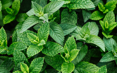 Ingredient Insight – Peppermint