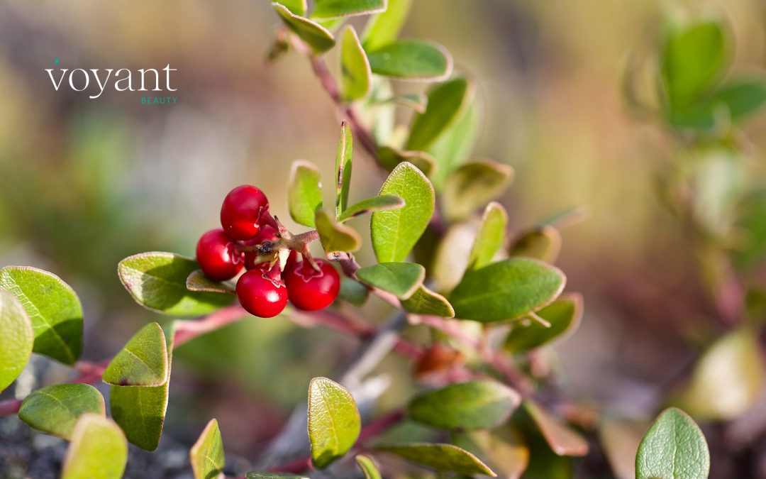 Ingredient Insight – Bearberry Extract